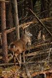 Fanfarrão dos cervos de Whitetail durante a rotina Foto de Stock Royalty Free