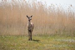 Um cervo que está na luz solar Fotografia de Stock Royalty Free