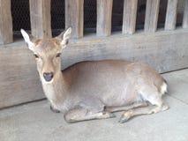Um cervo que relaxa em Nara, Japão, olhando diretamente no fotógrafo Fotos de Stock