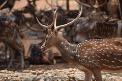 Um cervo sedento Fotografia de Stock