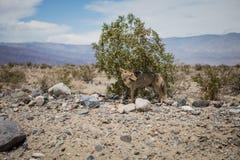 Um chacal no Vale da Morte foto de stock