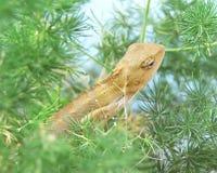 Um chameleon Fotografia de Stock Royalty Free