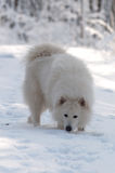 Um cheiro da neve Fotos de Stock Royalty Free