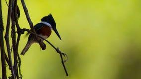Um Chickadee Castanha-suportado curioso empoleirado em um ramo imagem de stock royalty free