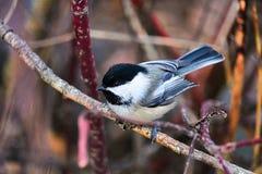 Um chickadee que senta-se em um ramo no inverno fotos de stock royalty free