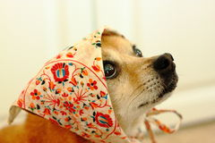 Um Chihuhua em um lenço Fotografia de Stock Royalty Free