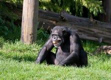 Um chimpanzé Imagem de Stock