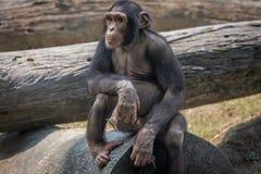 Um chimpanzé do bebê em um jardim zoológico em Kolkata Imagem de Stock
