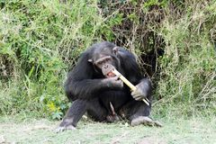 Um chimpanzé que come a cana-de-açúcar na tutela de Ol Pejeta Fotografia de Stock