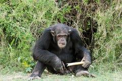 Um chimpanzé com a cana-de-açúcar em Ol Pejeta Conservan Foto de Stock
