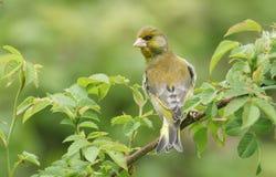 Um chloris masculino do Carduelis de Greenfinch empoleirou-se em um arbusto cor-de-rosa do cão Imagem de Stock