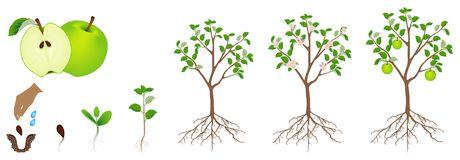Um ciclo de crescimento de uma planta da maçã é isolado em um fundo branco Imagens de Stock Royalty Free