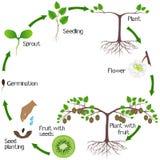 Um ciclo de crescimento de uma planta do quivi em um fundo branco ilustração royalty free
