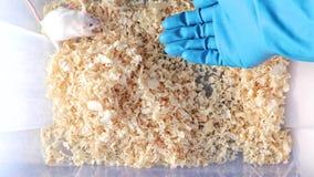 Um cientista, pesquisador que põe a mão em uma gaiola plástica do laboratório pronta para tomar o rato branco do albino do labora video estoque