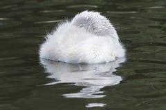 Um cisne novo do sono fotos de stock royalty free