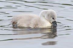Um cisne novo na água foto de stock royalty free