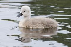 Um cisne novo na água fotografia de stock royalty free