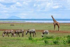 Um clássico fora da cena de África do parque nacional de Manyara do lago imagem de stock royalty free