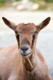 Um close-up da cabeça da cabra Fotografia de Stock Royalty Free