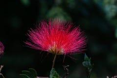Um close-up da flor persa da árvore de seda foto de stock royalty free