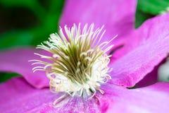 Um close-up da flor roxa com estame fotografia de stock