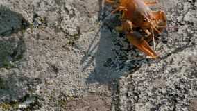 Um close-up da lagosta americana ou europeia que rasteja em uma pedra filme