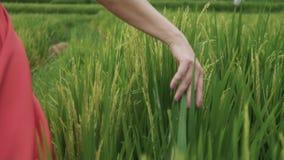 Um close-up da mão do ` s da menina toca e afaga nos spikelets macios no campo, os toques do modelo o crescimento verde filme