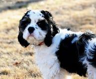 Um close up de um cachorrinho colorido partido de cocker spaniel imagens de stock royalty free