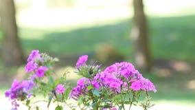 Um close up de flores do flox vídeos de arquivo