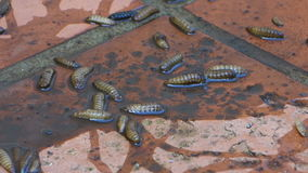 Um close-up de larvas da sopro-mosca video estoque