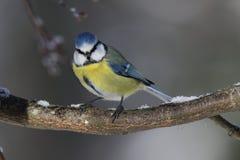 Um close-up de um melharuco azul em um ramo Imagens de Stock
