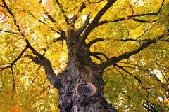 Um close-up de uma árvore de bordo Imagem de Stock