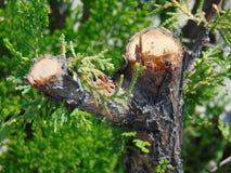 Um close-up de uma árvore do corte Fotografia de Stock
