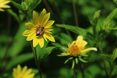 Um close up de uma abelha que poliniza uma flor amarela com espaço para o texto mas igualmente um verde, fundo natural fotografia de stock royalty free