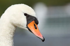 Um close up de uma cisne Fotos de Stock Royalty Free