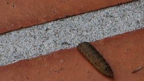 Um close-up de uma larva da sopro-mosca video estoque