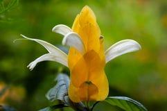 Um close-up de uma planta dourada de florescência do camarão fotos de stock royalty free