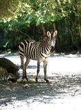 Um close up de uma zebra adulta que está ao lado de uma árvore imagem de stock