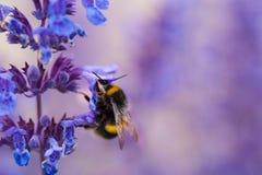 Um close-up de um zangão do verão que recolhe o pólen de um roxo Foto de Stock Royalty Free