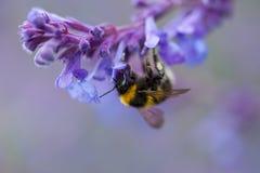Um close-up de um zangão do verão que recolhe o pólen de um roxo Fotos de Stock