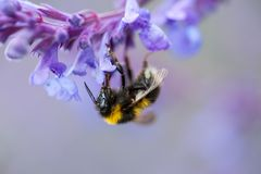 Um close-up de um zangão do verão que recolhe o pólen de um roxo imagens de stock