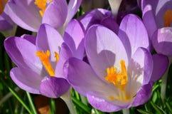 Um close-up disparado de duas flores do açafrão Imagens de Stock Royalty Free