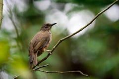 Um close up disparado de um pássaro marrom isolado ao descansar em uma árvore foto de stock