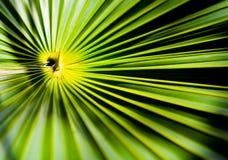 Um close-up disparou do no centro de uma palmeira Imagens de Stock Royalty Free
