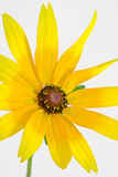 Um close-up do hirta do Rudbeckia Imagem de Stock Royalty Free