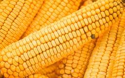 Um close up do milho amarelo secado imagem de stock