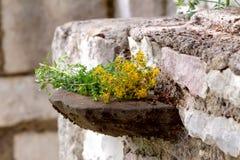 Um close-up do perforatum do Hypericum da planta Imagem de Stock Royalty Free