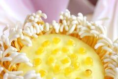 Um close up do pistil amarelo bonito de uns lótus imagens de stock royalty free