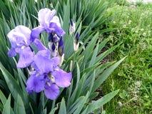 Um close-up e uma grama azuis do arbusto da íris farpada como o espaço da cópia para o texto Fotografia de Stock Royalty Free