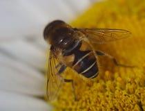 Um close-up macro disparou da hoverfly em uma flor da margarida de shasta que suga o néctar fotos de stock
